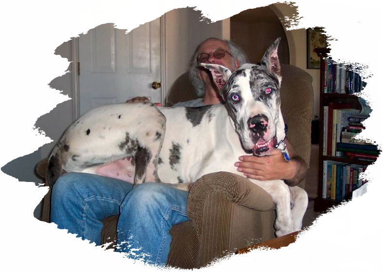 Great Danes At Gentle Giants Rescue And Adoptions | Dog Breeds Picture