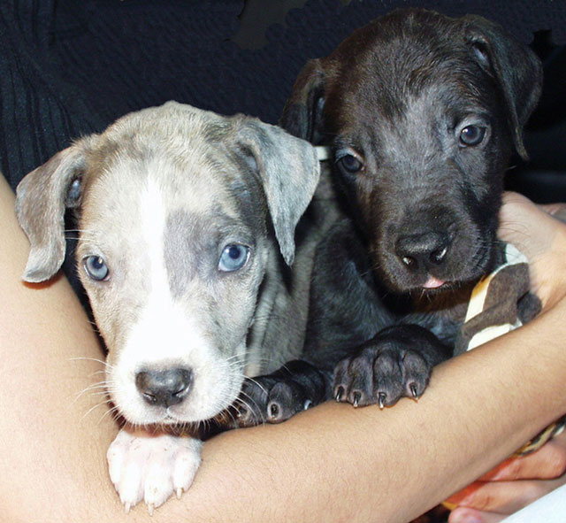great danes at gentle giants rescue and adoptions